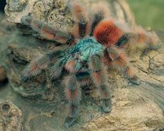 How to care for a Avicularia versicolor, also known as the Martinique pink toe or the Antilles tree spider is another recommend choice for beginners. Avicularia Versicolor has a very docile temperment, making it an ideal beginners tarantula. Pet Tarantula, Big Spiders, Itsy Bitsy Spider, Pink Toes, Beautiful Bugs, Animals Of The World, Small Animals, Reptiles And Amphibians, Cool Pets