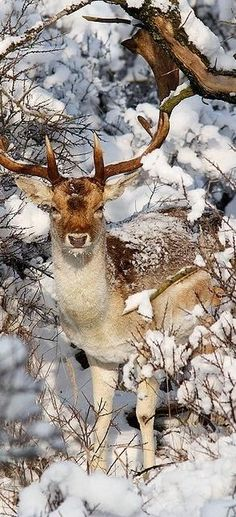 Rudolph The Red Nose Fallow Deer ;) - A snow-covered Fallow Deer (Dama dama) standing and foraging in the snow on a gorgeous winter day, like we used to have. Vida Animal, Mundo Animal, Beautiful Creatures, Animals Beautiful, Hirsch Illustration, Fallow Deer, Tier Fotos, Fauna, Nature Animals