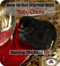 How to Get Started With Baby Chicks | The Flip Flop Barnyard   #raisingchickens #babyanimals #homesteading