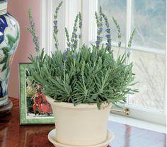 Lavender Goodwin Creek Grey in a white clay pot