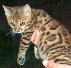 Bengal Cat. A house cat that has spots like a leopard and acts like a dog. They're real and I want one.