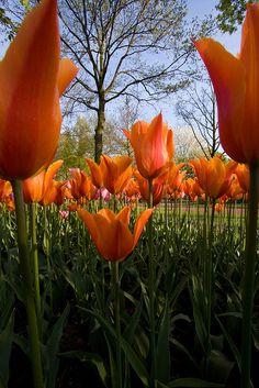 Tulip, Keukenhof Gardens, Lisse, Netherlands