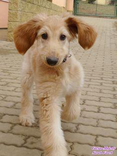 Afghan Hound puppy   via Facebook, Sarah Fareh