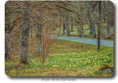 #daffodils