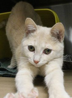 ADOPTED>Intake: 11/25 Available: 12/1 NAME: Jelly Bean  ANIMAL ID: 30273938 BREED: DSH  SEX: Female  EST. AGE: 10 weeks  Est Weight: 3.0 lbs  Health:  Temperament: Friendly  ADDITIONAL INFO:  RESCUE PULL FEE: $49