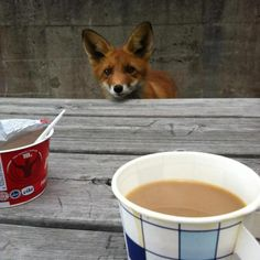 Mr. Fox stops for a coffee and quark in a Helsinki  cafe