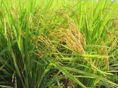 【生育記録】平成24年9月8日(土)御田植から3ヶ月ちょっとが過ぎました。稲の頭も垂れました。