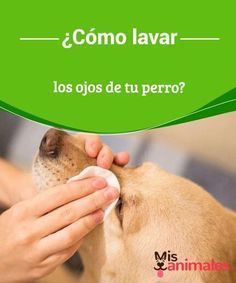 How to wash your dog& eyes? - My animals - How to wash your dog& eyes? It is time for daily hygiene, and your pet has dirty eyes. Puppies Tips, Yorkshire Terrier Puppies, Terrier Dogs, Dog Facts, Dog Eyes, Love Pet, Dog Care, Pet Shop, Shih Tzu