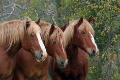 Belgain Draft Horses Weybridge, VT. My Dad used to have draft horses. I miss him and his horses. :(