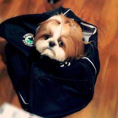 Shih Tzu in a bag