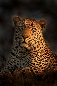~~Leopard in the Burn by Rudi Hulshof~~  Breath-taking image