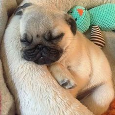 Cute Dogs And Puppies, Baby Puppies, Funny Pug Pictures, Hypoallergenic Dog Breed, Baby Pugs, Bulldog, Dog Selfie, Puppy Breeds, Pug Love