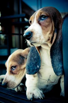Love me some bassets!