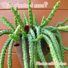 Huernia Schniuderinan Red Dragon Trailing Succulent Obea Stapelia - Ideas of Succulents Plants Tropical Garden, Rock Rose, Planting Flowers, Plants, Cacti And Succulents, Cactus Plants, Trees To Plant, Flowers, Planting Succulents