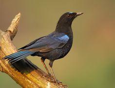 essay on hoopoe bird