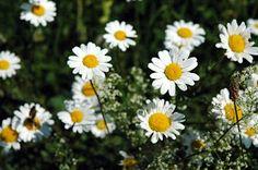 ✿✿ FLEURS ET PLANTES  ✿✿: Marguerites  La Marguerite ou Marguerite commune (...