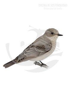 PAPAMOSCAS GRIS. Su tamaño es pequeño, 14-15 cm de longitud. La tonalidad general se encuentra contrastada por la zona dorsal, de un gris más o menos homogéneo (aunque interrumpido), y la zona ventral, de color blanco adornado de manchas estriadas longitudinales de 8-10 filas.