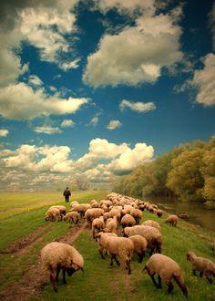 Herding the sheep.