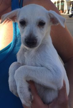 Meet Tanner, a Petfinder adoptable Terrier Dog   Dana Point, CA   ...saving one pet may not change the world, but surely the world would change for that one pet......