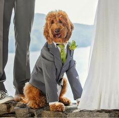 169 Best Pups Labradoddles Images Labradoodle Doodle Dog