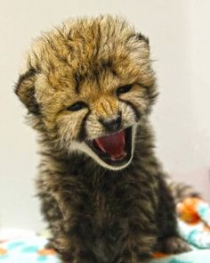 Rawr!!! Big scary kitty!! #cheetah