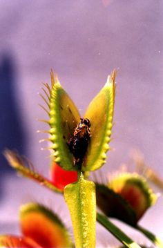 NC's official state carnivorous plant - Venus fly trap