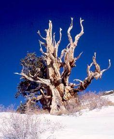 SUPERARBOLES: Pino de Great Basin Pinus Longaeva