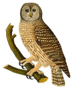 Daughter, Do you like this one. We can make it any size. Female Barred Owl image from Graphics Fairy.