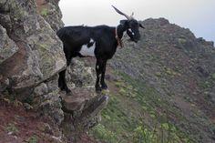 Mountain goat in La Gomera, Canary Islands