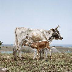 Nguni cow with suckling calf. Farm Photography, Animal Photography, Farm Pictures, Dairy Cattle, Cow Art, Animal Sketches, Rind, Farm Animals, Funny Animals