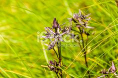 Swertia perennis on a meadow Royalty Free Stock Photo