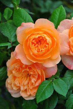 アプリコットオレンジのコロンとした蕾が開くと グリーンアイの美しいロゼット咲きに  キングアーサー King Arthur http://item.rakuten.co.jp/baranoie/c/0000006675/?force-site=pc