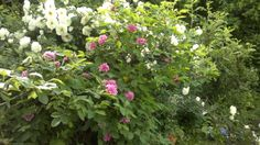 Midsummer rose and Tornio valley (in North Finland) rose