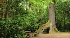 Coolest campsite ever? My kid would love to hide in that tree trunk. At Cape Lookout State Park, Oregon Coast.