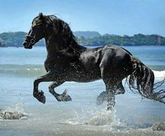 Friesian. No name given on the page. photo: Cally Matherly.