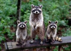 Bandit trio ~ Now if that doesn't look like trouble looking for a place to happen, I don't know what does!