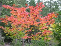 Vine maple - Seattle native with great Fall color