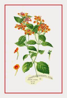 Cambará, Bandeira-espanhola, Camará, Camaradinha, Cambará-de-cheiro, Cambará-miúdo, Cambará-verdadeiro, Cambarazinho, Chumbinho, Lantana, Lantana-cambará, Verbena-arbustiva    http://sergiozeiger.tumblr.com/post/112401714988/cambara-bandeira-espanhola-camara-camaradinha  Arbusto florífero de efeito muito ornamental, o cambará é excelente para a formação de maciços e bordaduras. Suas folhas são opostas e muito pilosas, e os seus ramos flexíveis podem ser eretos ou semipendentes.