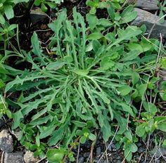 P querettes les plantes sauvages comestibles plantes - Cuisine sauvage couplan ...