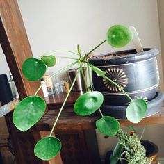 plantfiles pictures chinese money plant chinese missionary plant pilea peperomioides these. Black Bedroom Furniture Sets. Home Design Ideas