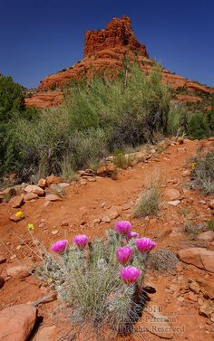 Hedgehog Cactus and Bell Rock, where I hike often near my house in Village of Oak Creek, Sedona, Arizona