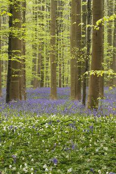 Hallerbos - Bluebell forest - Belgium