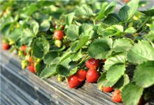 Everbearing strawberries, low-maintenance and gives up to three harvests every year.  Let's hope the squirrels don't eat all of them