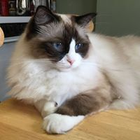 Ragdoll Cat Poisoning from Bath and Body Works Plug in Air Freshener