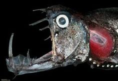 pacific deep sea fish - Bing images Deep Sea Creatures, Weird Creatures, Pretty Fish, Deep Sea Fishing, Pacific Ocean, Marine Life, Bing Images, Google Search, Wallpaper