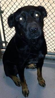 ADOPT!!! EUTH LISTED-NEXT TO DIE- DELILAH IN GASSING SHELTER Black Labrador Retriever Mix • Adult • Female • Large For The Love Of Dogs Downingtown, PA HER SON WAS ADOPTED AND SHE WAS LEFT BEHIND.