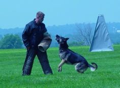 Thinking about breeding your female GSD?  Read here to learn how to find a good stud dog!    http://www.examiner.com/article/the-german-shepherd-dog-and-breeding-how-to-find-a-stud-dog-part-3