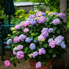 Bloomstruck® Hydrangeas For Sale Online | The Tree Center™