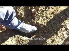 Cum plantam nucii altoiti - demonstratie in comuna Cupseni, jud. MM - Nu...