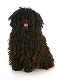 Learn about common Hungarian Puli health issues and other facts. See how Petplan's Hungarian Puli insurance can save you up to on vet bills Rare Dogs, Rare Dog Breeds, Big Dogs, I Love Dogs, Dogs And Puppies, Doggies, Small Dogs, Beautiful Dogs, Animals Beautiful